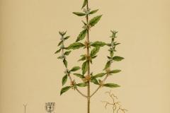 Plant-illustration-of-American-pennyroyal