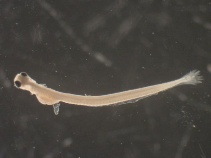 American-shad-larvae