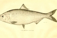 Illustration-of-American-shad