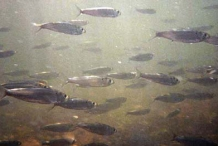 School-of-young-shad