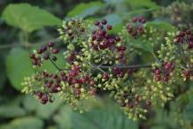 American-Spikenard-Berries