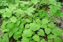 American-Spikenard-leaves