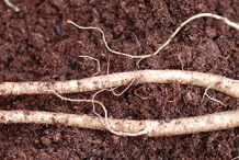 American-Spiknard-root