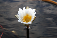 African-Water-lily