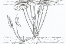 American-White-Water-Lily-Plant-Sketch