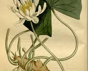 American-White-Water-lily-Illustration