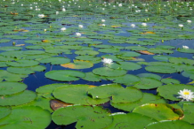 American-white-waterlily-Growing-wild