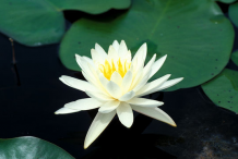 American-white-waterlily-flower