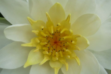 Closer-view-of-American-white-waterlily-flower