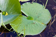 Leaves-of-American-white-waterlily