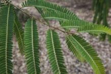 Leaves-of-Amla
