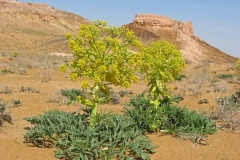 Ammoniacum-plant