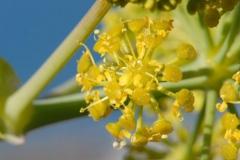 Closer-view-of-flower-of-Ammoniacum