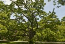 Amur-cork-tree-Amur corktree bark