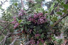 Fruit-clusters-of-Andean-Berry