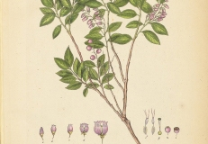 Illustration-of-Andean-Berry