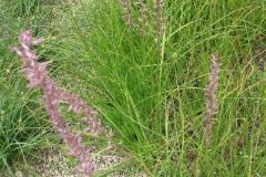Anemarrhena-plant-growing-wild