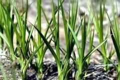 Anemarrhena-plant