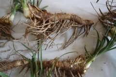 Fresh-rhizomes-of-Anemarrhena