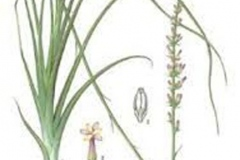 Plant-Illustration-of-Anemarrhena