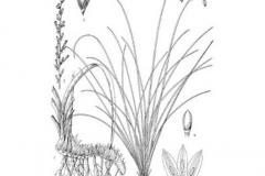 Sketch-of-Anemarrhena