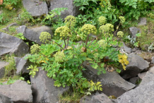 Small-Angelica-plant