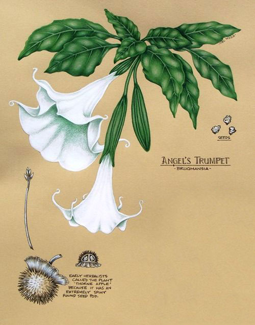 Plant-Illustration-of-Angels-trumpet