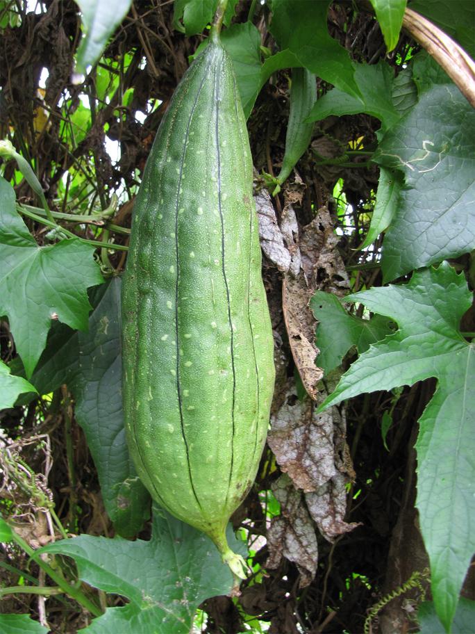Angled-Loofah-fruit