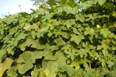 Angled-Loofah-leaves