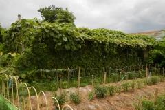 Angled-Loofah-plantation