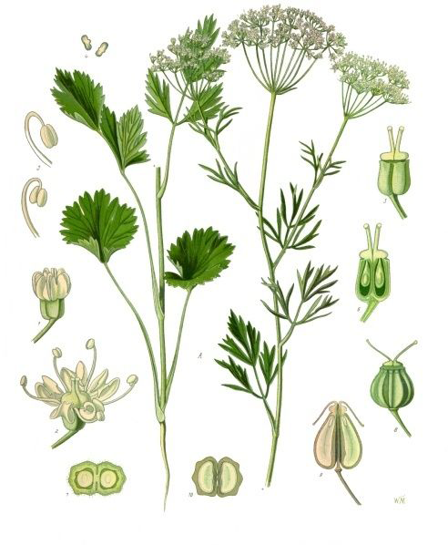 Anise-plant-Illustration