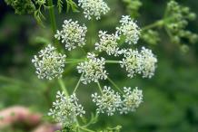 Anise-Flower