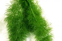 Anise-Leaf