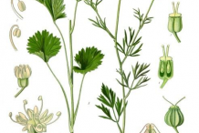 Anise-plant-Illustration