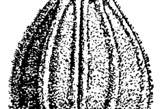 Single-Anise-Seed-Drawing