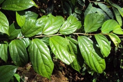 Leaves-of-Ankol