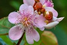 Annatto-flower-Achiote