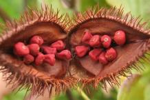Annatto-seeds-Annata