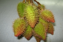 Annatto-fruit-green-Urucum