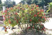 Annatto-plant-Onotillo