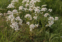 Annual-Candytuft--Plant-growing-wild