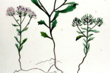 Plant-Illustration-of-Annual-Candytuft