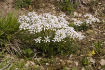 Whole-Annual-Candytuft--Plant