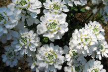 Flowers-of-Annual-Candytuft