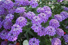 Other-Varieties-of-Candytuft