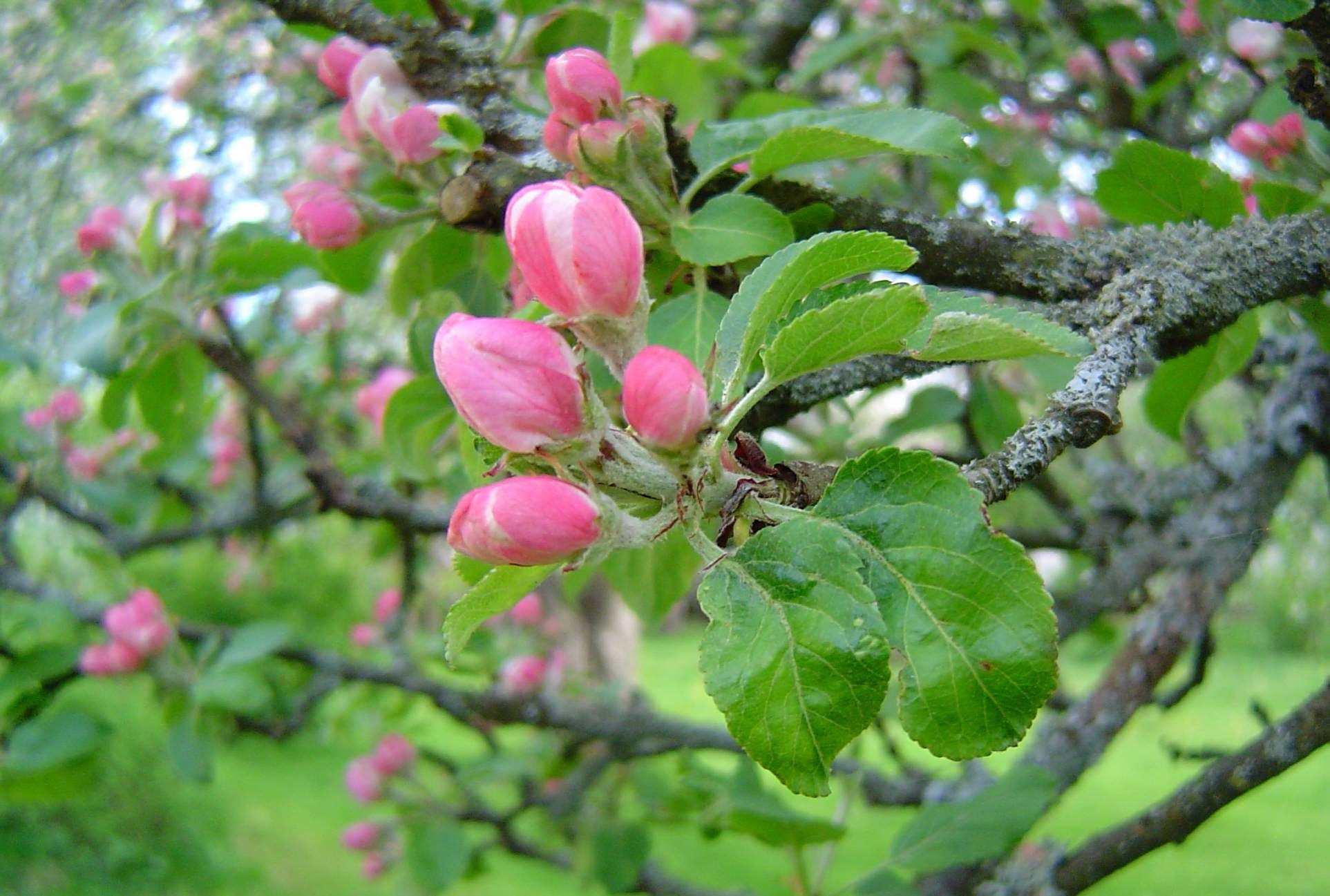 Apple-flower-bud