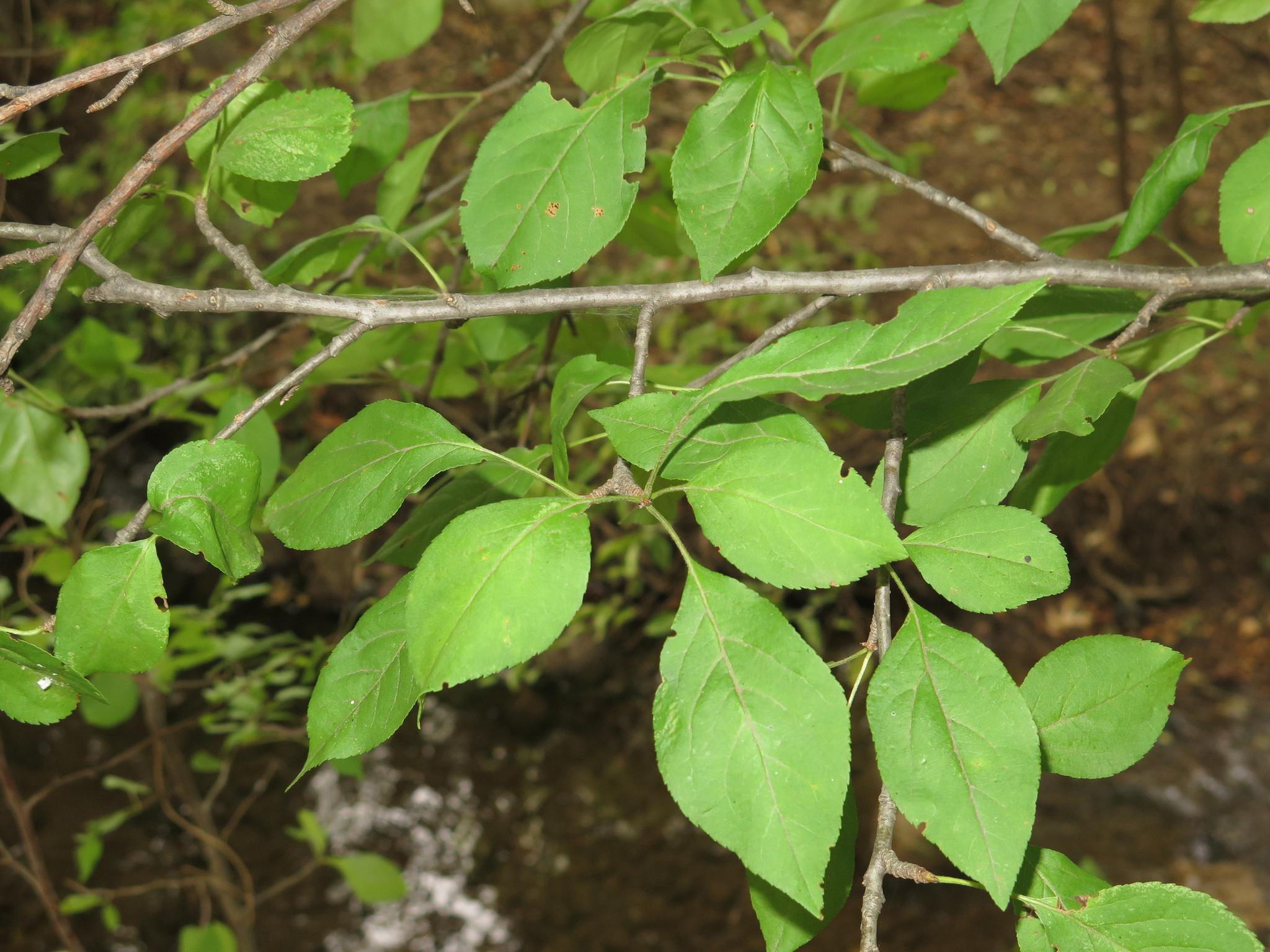 Apple-leaves