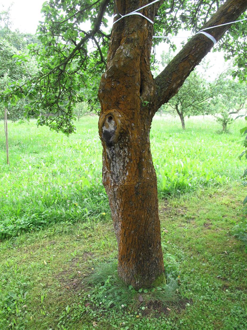 Apple-trunk