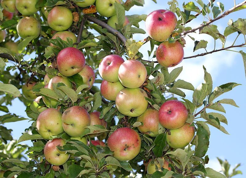 Apples-in-the-tree