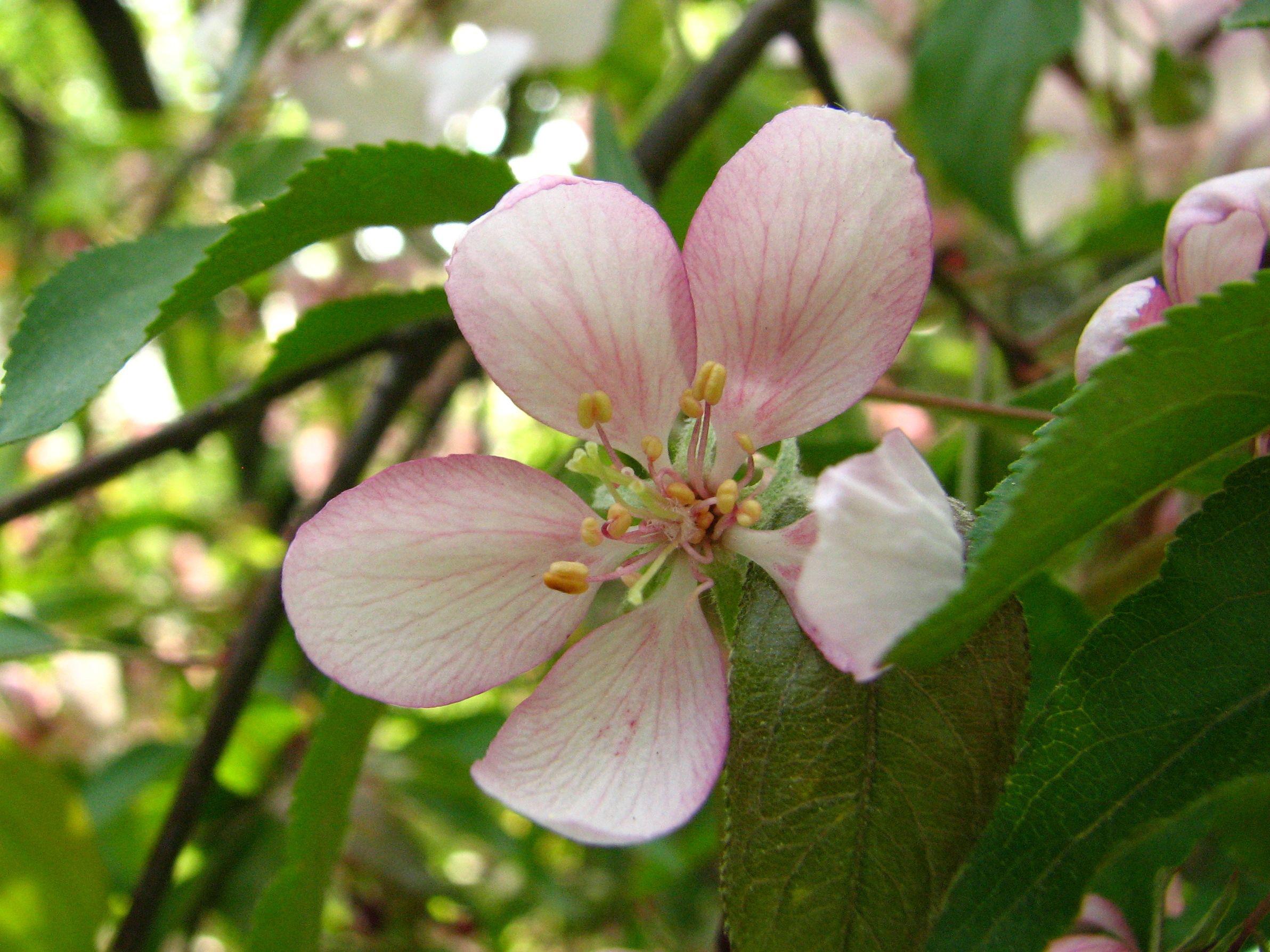 Close-up-flower-of-Apple